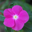 Stock Photo: Tropical violet flower
