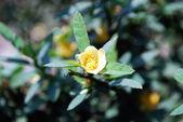 тропический желтый цветок — Стоковое фото