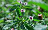 Tropikal menekşe çiçek — Stok fotoğraf