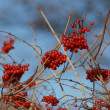 Guelder-rose Red - Stock Photo