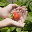Red freshness strawberry in hands — Stock Photo #1135146