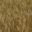 Grain field — Stock Photo #1135735
