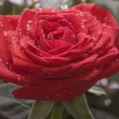 Red beatiful rose in garden — Stock Photo