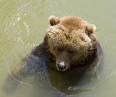 Brown bear swimming in cold water — Stock Photo
