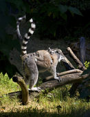 Young lemur sitting on a back of mother — Stock Photo