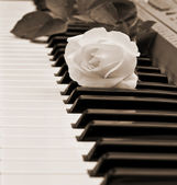 Beautiful white rose on piano keyboard — Stock Photo