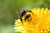 The bumblebee — Stock Photo