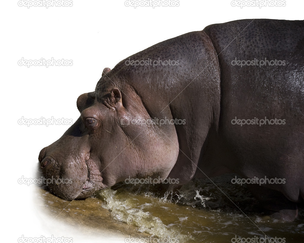 Hippopotamus Coming out of Water — Stock Photo #1134935