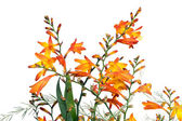 Orange Flowers over white background — Stock Photo
