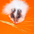 White little Hamster eat over orange bac — Stock Photo