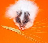 White little Hamster eat over orange bac — Stock Photo