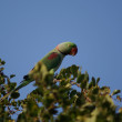 Green parrot in natural  habitat — Stock Photo
