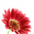 Bright pink gerber daisy isolated — Stock Photo