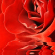 Close up shot of red rose — Stock Photo
