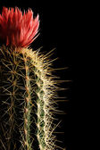 Flowering cactus — Stock Photo