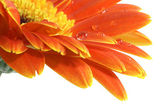 Gerbera daisy with a water drops — Stock Photo
