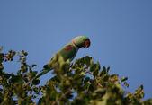 Green parrot in natural habitat — Stock Photo