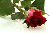 Nice red rose with a water drops — Stock Photo