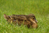 Clos up shot of wild female duck — Stock Photo