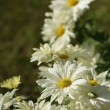 Floral composition with few white camomi — Stock Photo #1140706