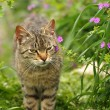 Grey cat in spring flowering nature — Stock Photo