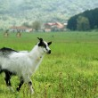 Stock Photo: Little goat in the meadow