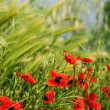 Stock Photo: Meadow with poppies and wheat