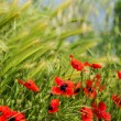 Meadow with poppies and wheat — Stock Photo