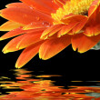 Orange gerbera daisy on the black backgr - Stock Photo