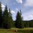Red cow on the clearing in the forest — Stock Photo