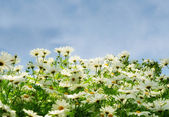 Meadow with comomiles over blue sky — Stock Photo