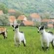 Stock Photo: Three goats in the meadow