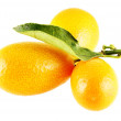 Stock Photo: Tree ripe kumquats