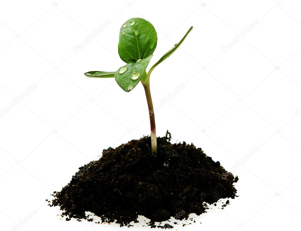 Young sunflower sprout in the soil with droplets isoleted over white  Stock Photo #1158059