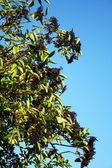 Frassino selvatico — Foto Stock