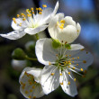 Cherry bloom in spring — Stock Photo #1134433