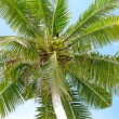 Royalty-Free Stock Photo: Coconut palm tree