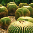 Giant cactuses in the garden — Stock Photo