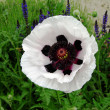 White poppy — Stock Photo