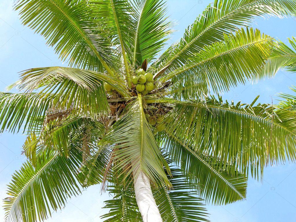 coconut palm tree stock photo karnizz 1188580. Black Bedroom Furniture Sets. Home Design Ideas