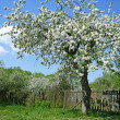 Blooming fruit tree — Stock Photo