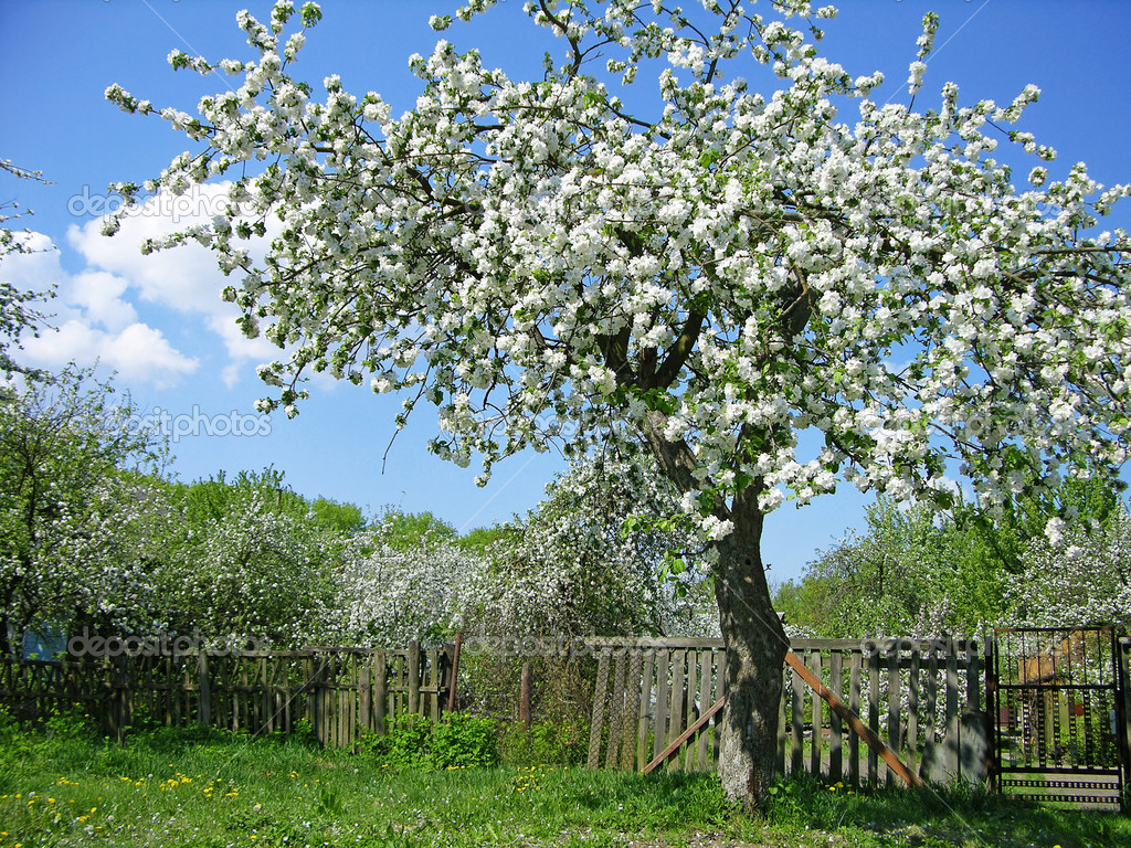 Blooming fruit tree stock photo karnizz 1242476 for Arbre fruitier