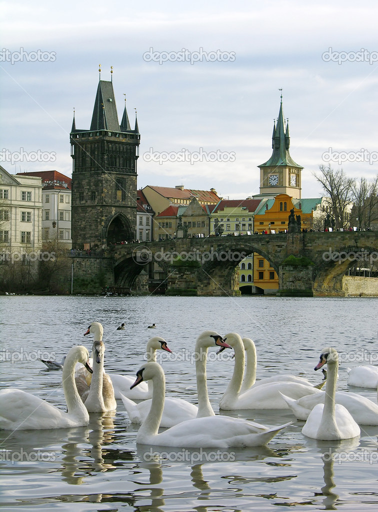 White swans near the Charles Bridge, Prague, Czech Republic — Stock Photo #1575714