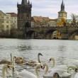 Swans on Vltava river in Prague — Zdjęcie stockowe