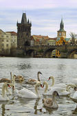 Swans on Vltava river in Prague — Стоковое фото