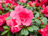 Azalea flowers in a greenhouse — Stock Photo