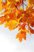 żółty jesienny liść — Zdjęcie stockowe