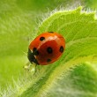Ladybird on a sunflower — Foto Stock