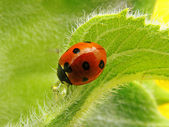 Ladybird on a sunflower — Stock Photo