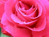 Pink rose close up — Stock Photo